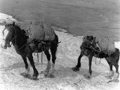 Prospectors travelled by pack horse - notice the showshoes on the horses.